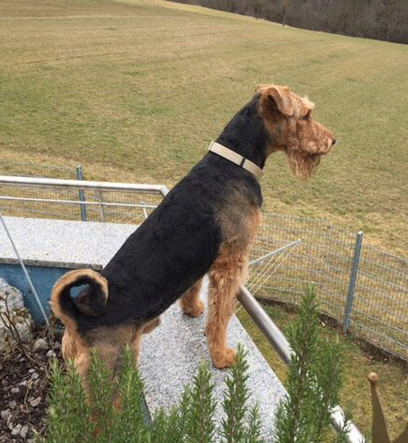 Hennry Airedale Terrier 02-2017