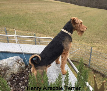 Hennry Airedale Terrier 02-201702